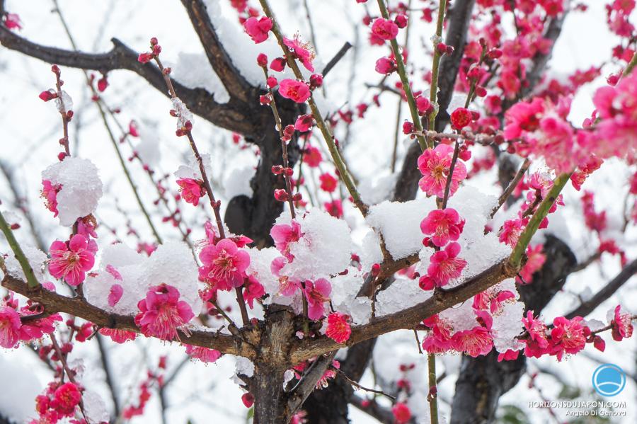 prunier-neige-osaka