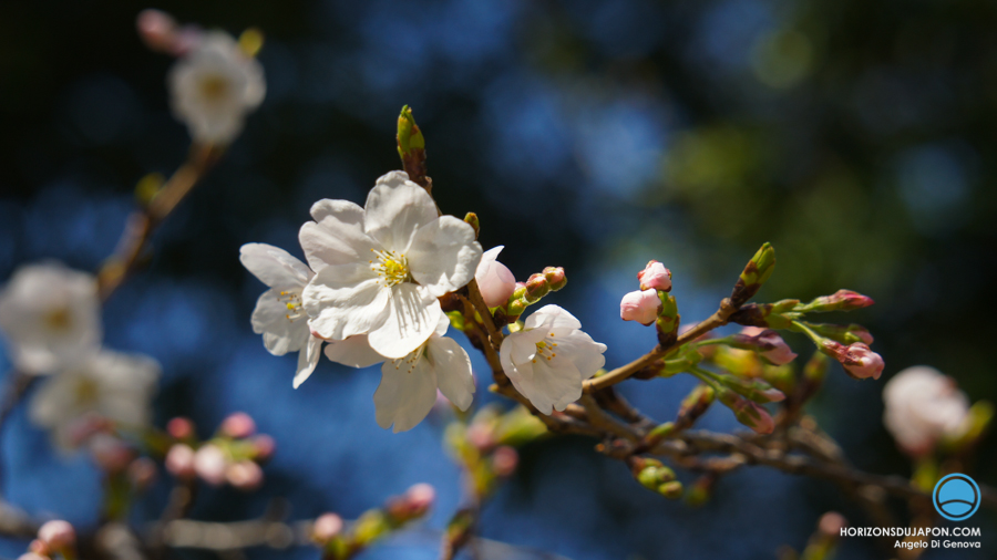 blue-sakura