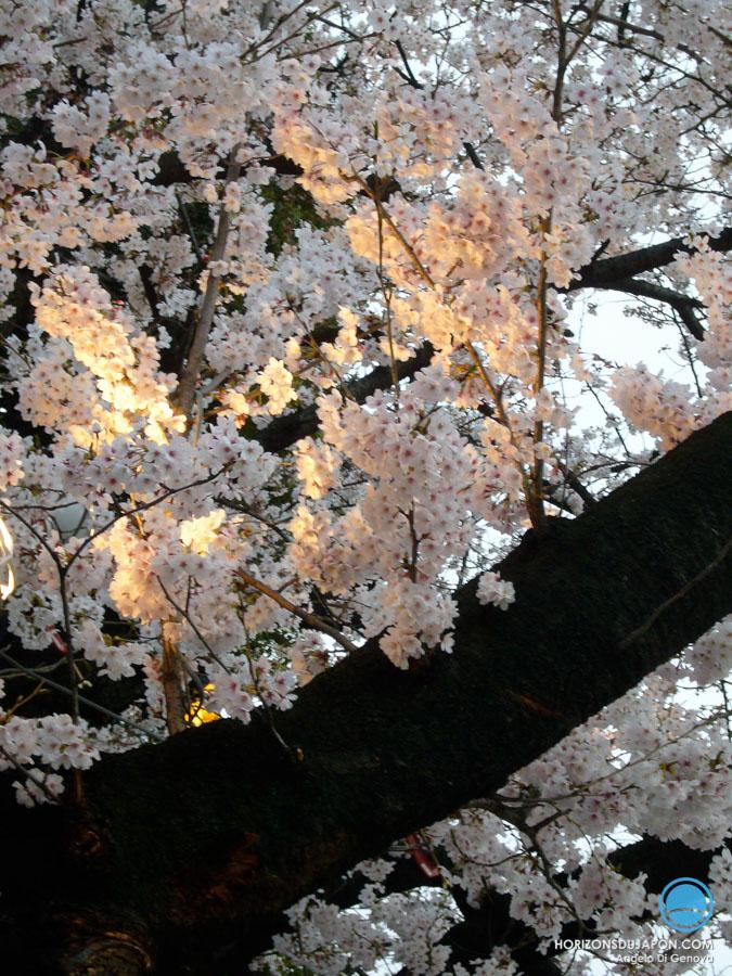 37-sakura-03