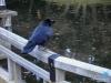 11-corbeau-japon