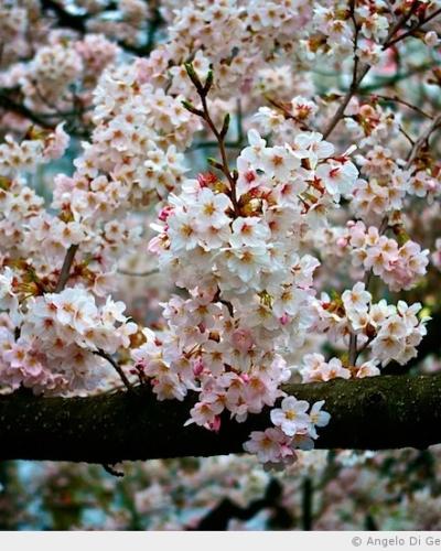 Présentation du Hanami, la fête des cerisiers en fleur