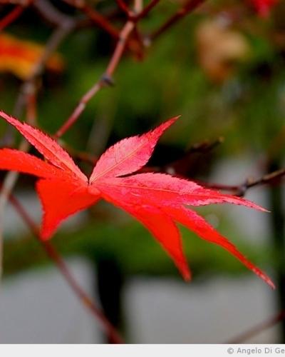 Kurama et couleurs d'automne