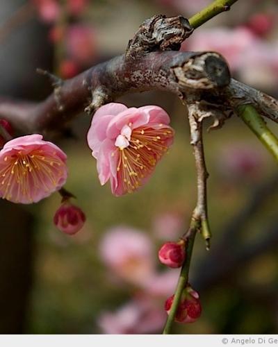 Les pruniers du château d'Osaka