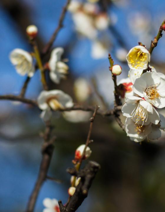Bairin, les bosquets de pruniers japonais